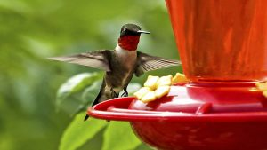 Ruby_Throated_Humming_Bird-1000x562